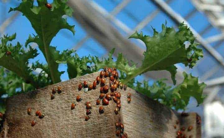 Ladybird, kumbang bukan seekor. Gambar oleh Eric Hurlock.