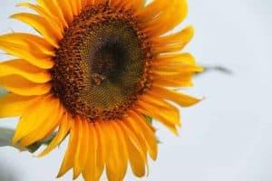 Lebah Kelulut Di Bunga Matahari