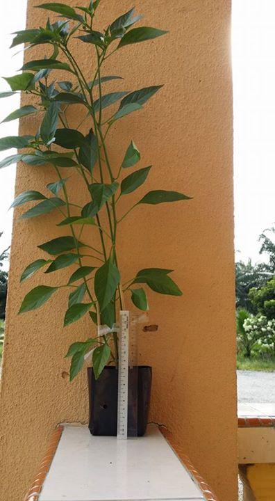 pokok cili meninggi