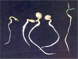 lecur anak benih